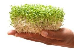 O poder das sementes germinadas para a saúde e a nutrição